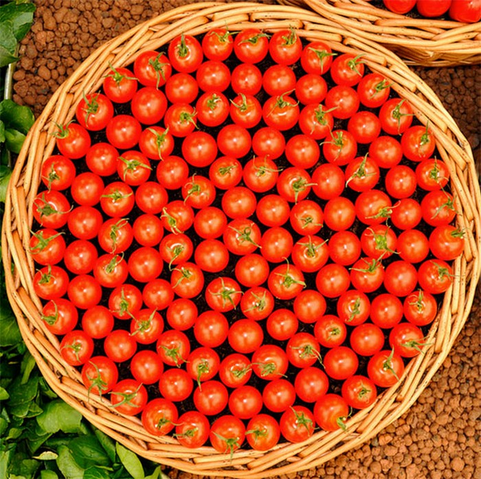 tomatoes perfectly organized