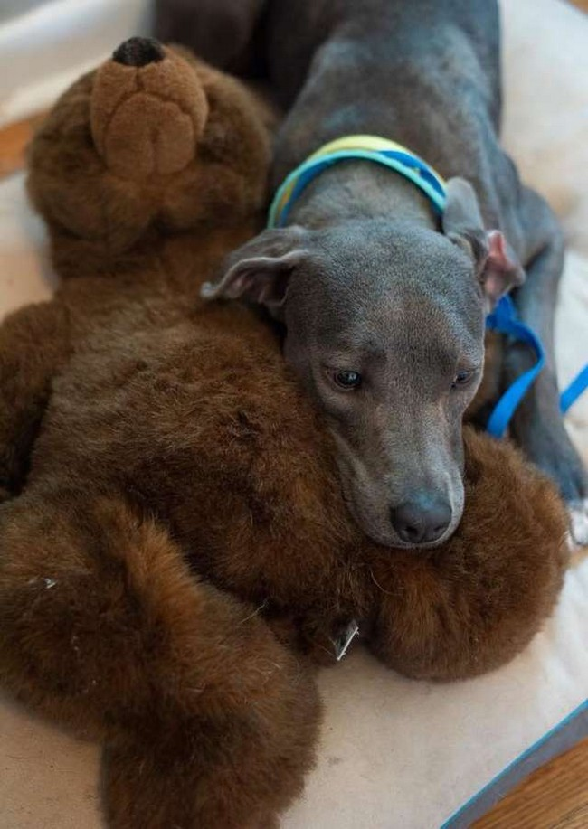 shelter dog clings to Teddy bear