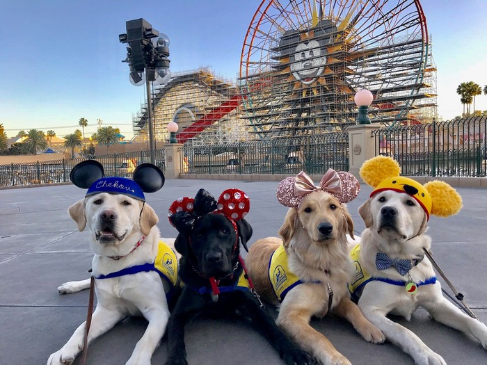 Service dogs in training on a trip to Disneyland