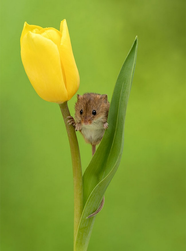 Photos of field mice inside tulips by Miles Herbert